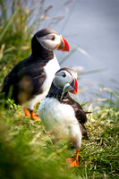 Atlantic Puffins (II)